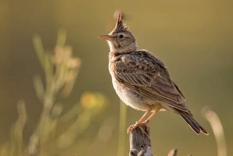 Die Haubenlerche ist der sprichwörtliche frühe Vogel