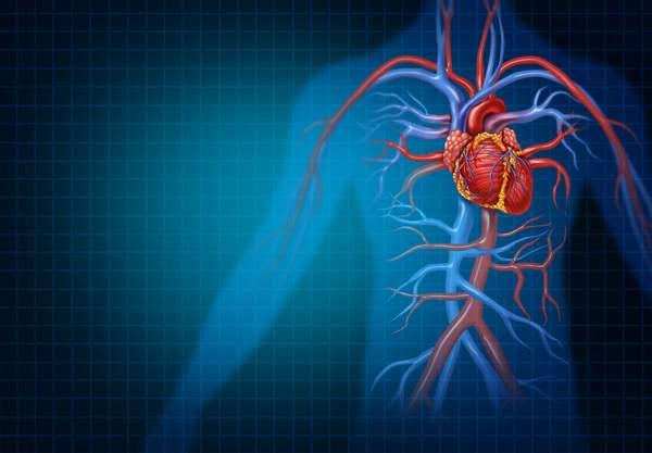 Menschliches Herz und Blutkreislauf